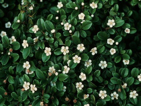 Cotoneaster dammeri - mušmulica
