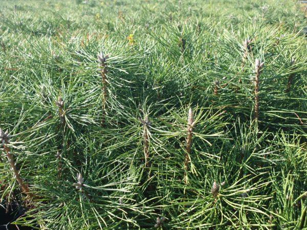 Pinus nigra Arn. – crni bor