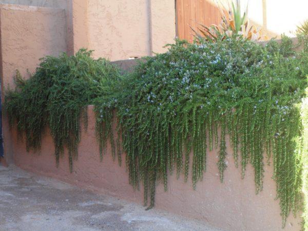 Rosmarinus officinalis var. prostratus  - puzajući ružmarin