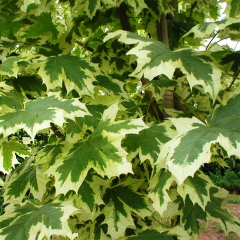 Acer platanoides Drumondii