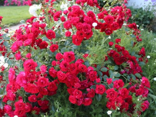 Rosa Scarlet Meillandecor