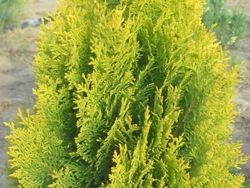 Thuja orientalis Aurea